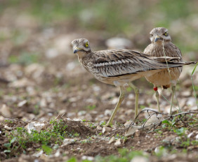 Stone Curlew Roost Spectacular